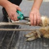 Hand with shears starting to clip alpaca hoof