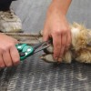 Hand with shears clipping an alpaca's hoof
