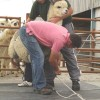 Two handlers attaching restraining ropes to alpaca