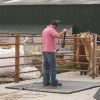 Three handlers in yard setting up rig for shearing