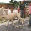 Alpaca is released by 2 handlers after shearing