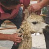 Handler holds alpaca while shearer clips neck