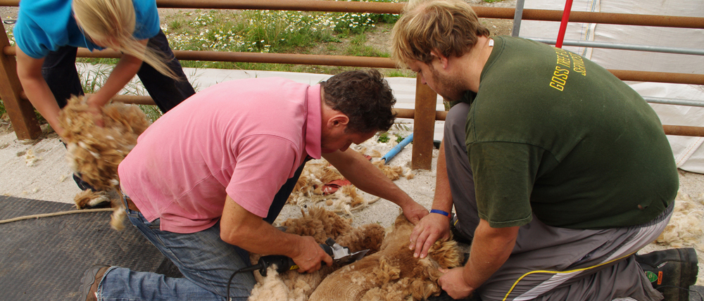 Alpaca being sheared by 3 people